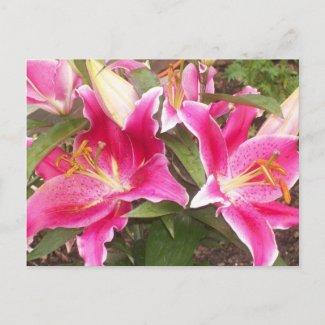 Pink Lilies Postcard postcard