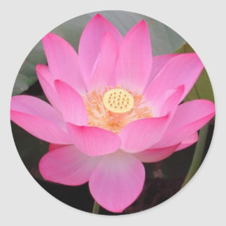 Pink Lotus Flower In Bloom Sticker