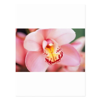 Pink Orchid Closeup Post Card
