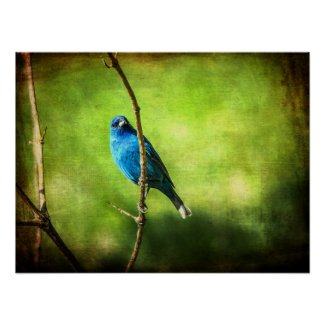 Portrait of an Indigo Bunting - Wildlife Photo Poster