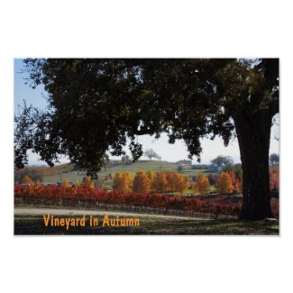 Poster: Vineyard and Oak Tree in Autumn Colors