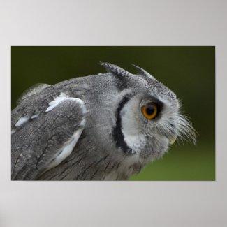 Print - Baby Grey Owl print