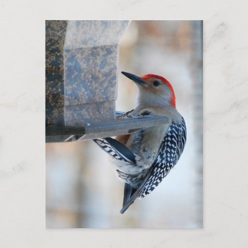 Red-bellied Woodpecker at Bird Feeder Postcard postcard