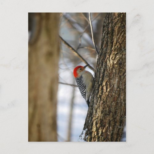 Red-Bellied Woodpecker Postcard postcard