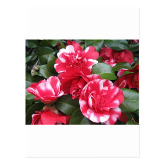 Red & White Striped Roses Postcard