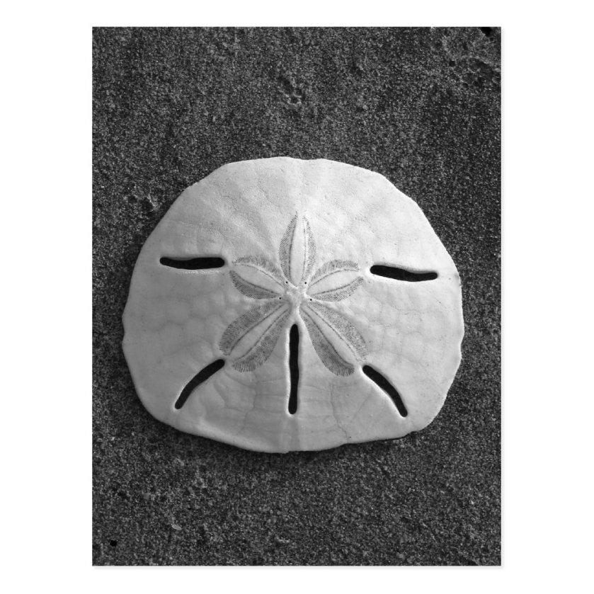Sand Dollar Shell Beach Postcard (B&W Photo)