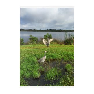 SandHill Cranes on the Little Manatee River Acrylic Print