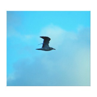 Seagull in Flight in evening light. Canvas Print