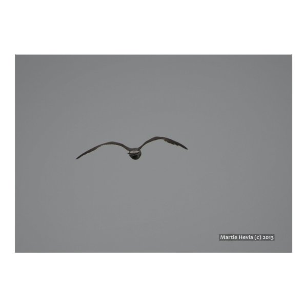 Seagull in Flight Print