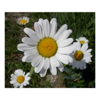 Shasta Daisy (Chrysanthemum maximum) Posters