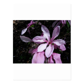 Spring Magnolia Pink Postcards