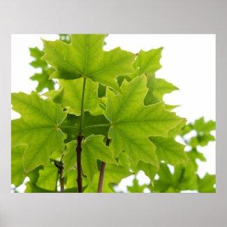 Sugar Maple Leaves Poster print