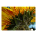 Sunflower Underside Posters
