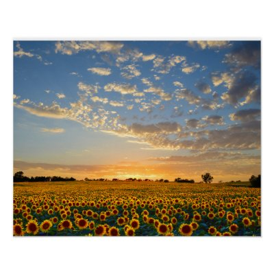 Sunflowers at Sunset Posters