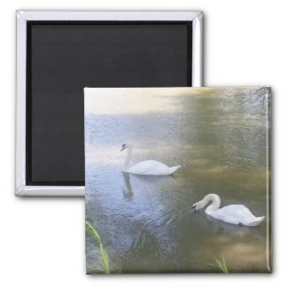Swimming Swans Magnet magnet