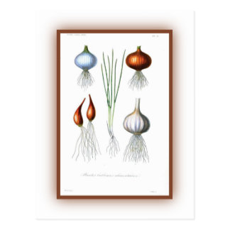 The Allium Family Post Cards