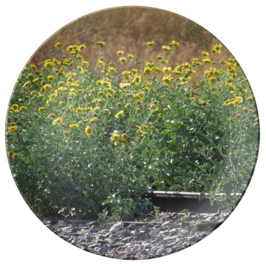 The Sunflowers Near The Train Tracks Plate