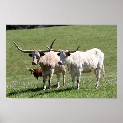 Three Texas Longhorns Poster