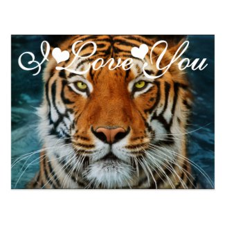 Tiger in Water Photograph I Love You Postcard