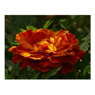 Turkish Marigold Post Card