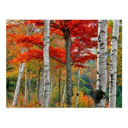 USA, Maine, Wyman Lake. Forest Of Birch Postcard