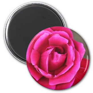 Vibrant Fuschia Pink Rose Blossom Makro Fridge Magnets