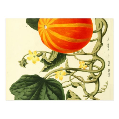Vintage botanical print of pumpkin. postcard