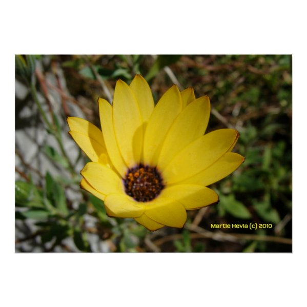 Waking Yellow Daisy Poster