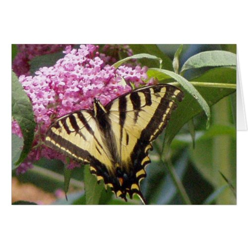 Western Tiger Swallowtail butterfly on pink lilacs card