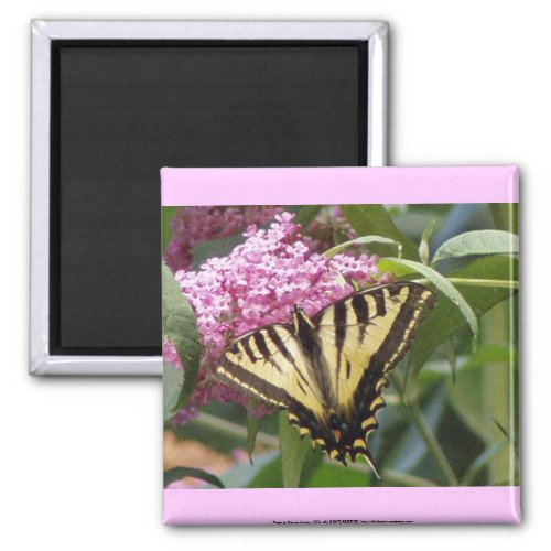 Western Tiger Swallowtail butterfly on pink lilacs magnet