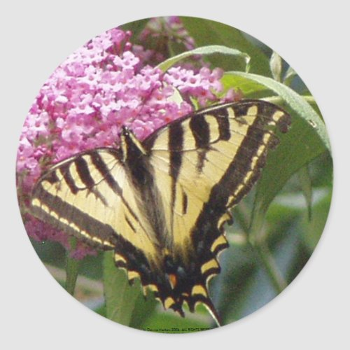 Western Tiger Swallowtail butterfly on pink lilacs sticker