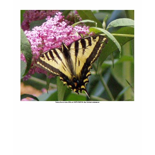 Western Tiger Swallowtail butterfly on pink lilacs shirt