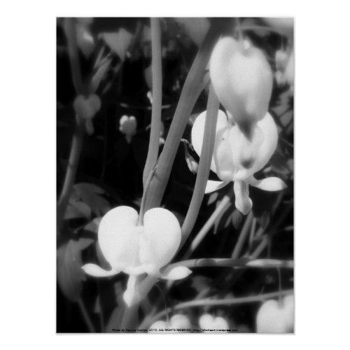 white bleeding heart macro, black and white print