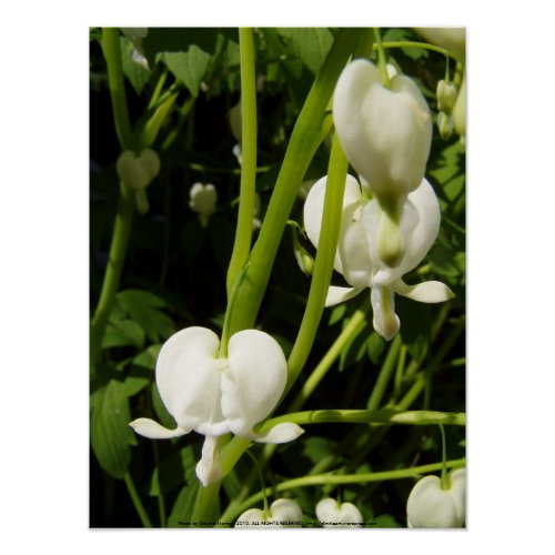 white bleeding heart macro print
