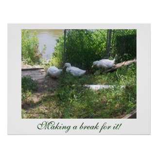 White Ducks on a Ramp Poster print