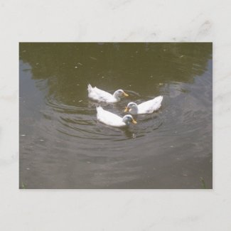 White Ducks Swimming Postcard postcard