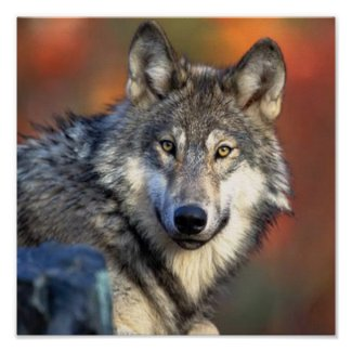 Wolf Photograph Posters