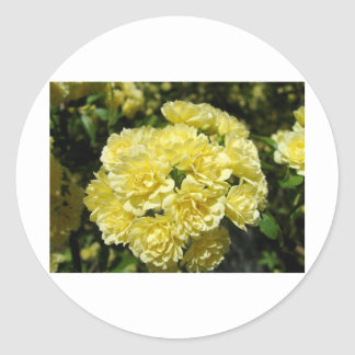 Yellow Rose Bush Sticker