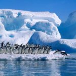 ADELIE PENGUIN (Pygoscelis adeliae), GROUP DIVING FROM ICEFLOE IN HOPE BAY, ANTARCTIC PENINSULA, ANTARCTICA