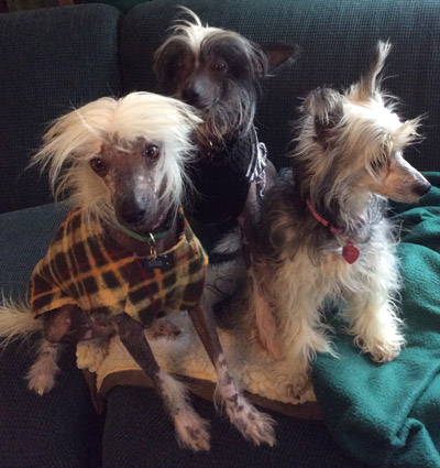 Chinese Crested Family