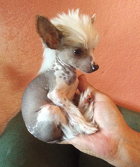 Chinese Crested Puppy