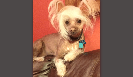 Chinese Crested Sam
