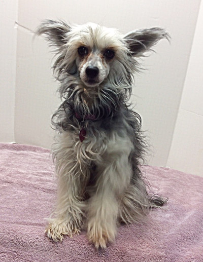 Chinese Crested Princess