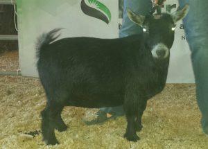 SENIOR CH/GRAND CH DOE - Legacy Farms Bedazzle