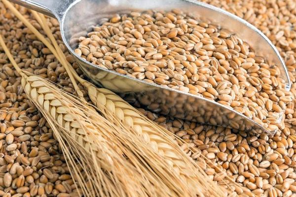 historia-del-trigo