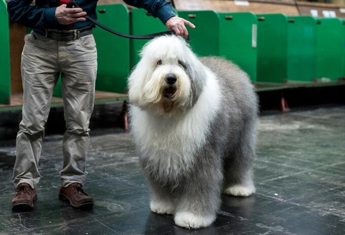 """(FILES) In this file photo taken on March 08, 2019 A man poses with his old English sheepdog before judging on the second day of the Crufts dog show at the National Exhibition Centre in Birmingham, central England. - The Old English Sheepdog, one of Britain's most recognisable dog breeds, has been listed for the first time as vulnerable to extinction due to declining numbers, The Kennel Club said on Apri 19, 2021. The move by the club, Britain's biggest organisation devoted to dog health, welfare and training, follows a """"steep decline"""" in the breed's popularity since its heyday in the late 1970s. (Photo by OLI SCARFF / AFP)"""