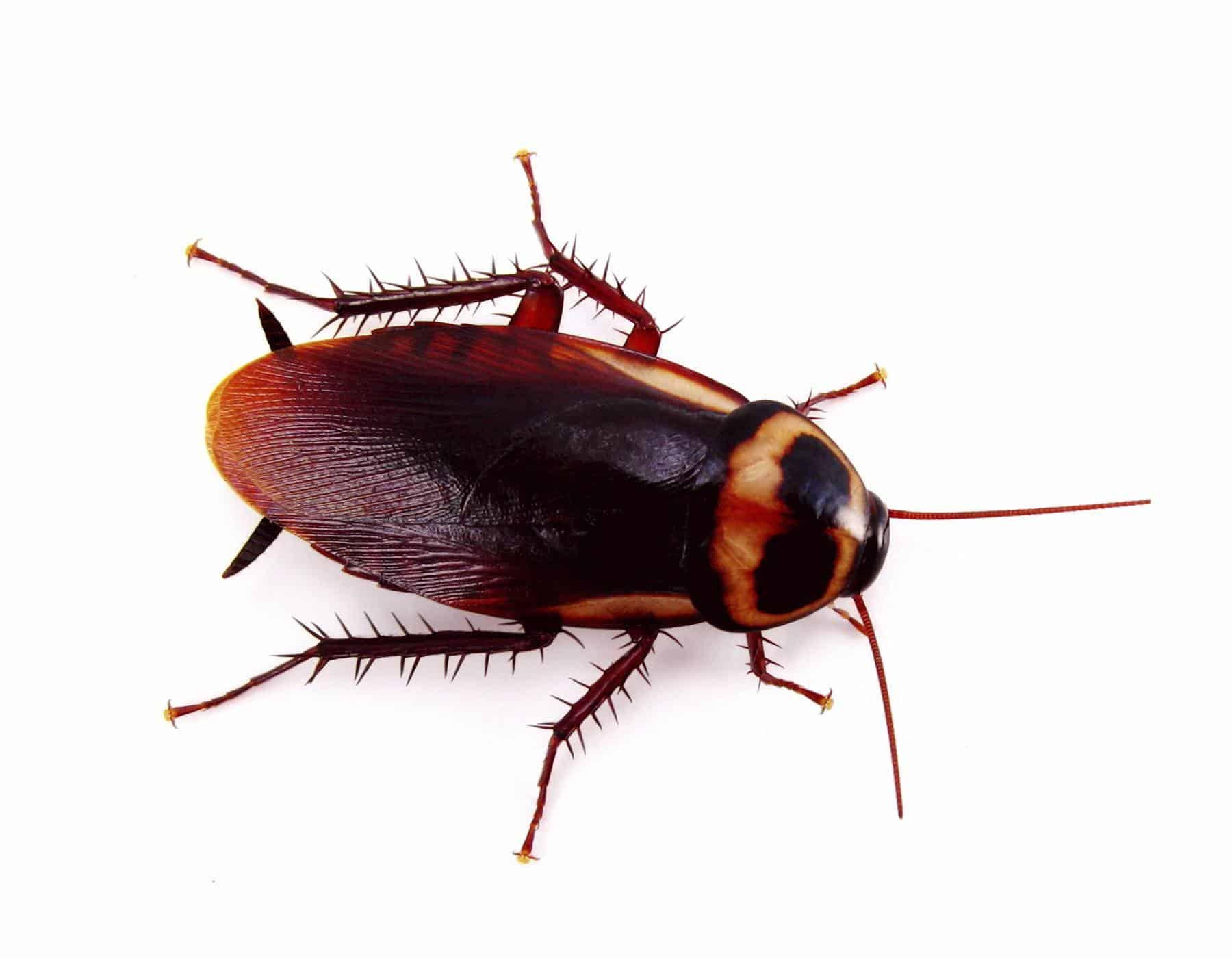 American Roach