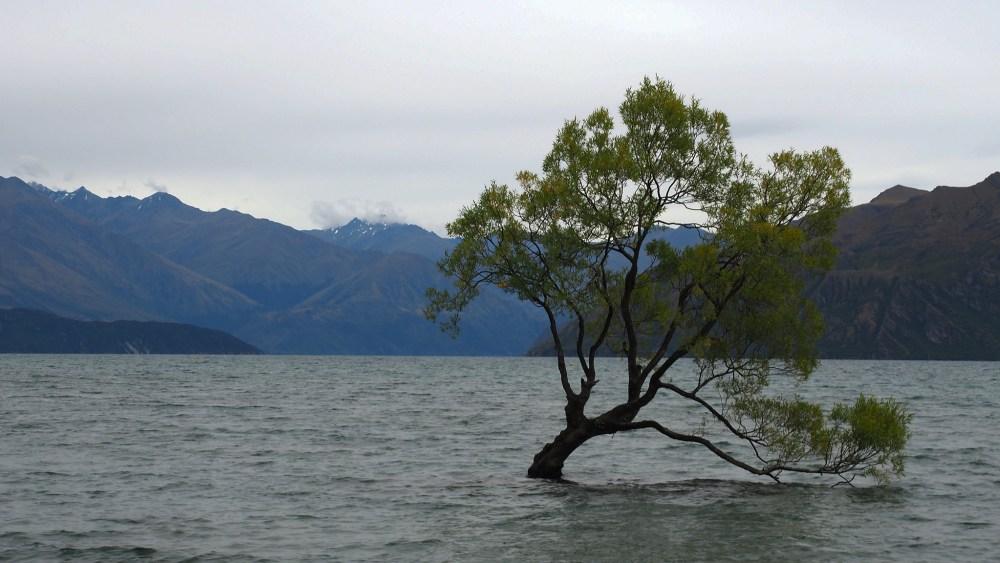 Wanaka-Tree
