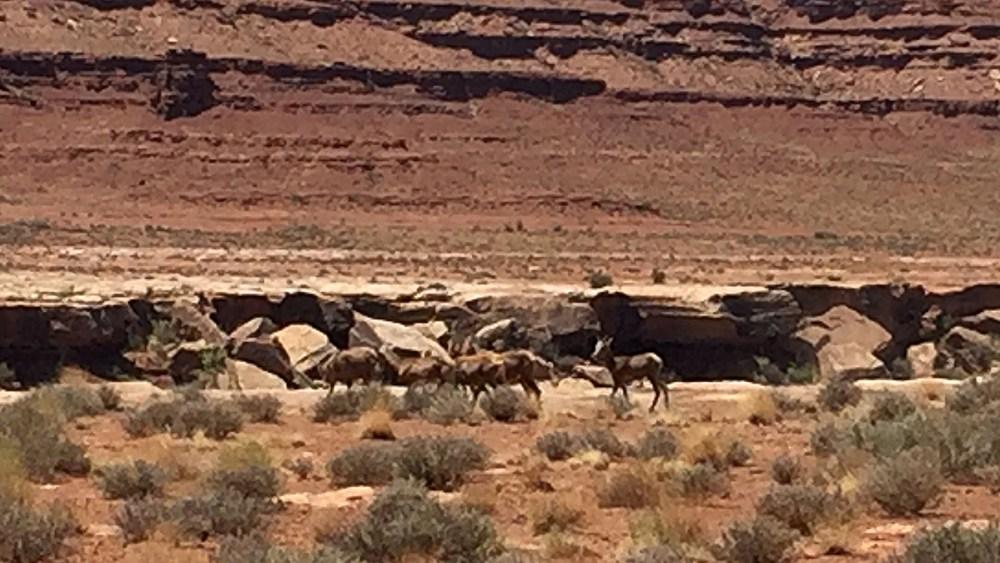 Eine Herde Bighorn Sheeps entlang der White Rim Road