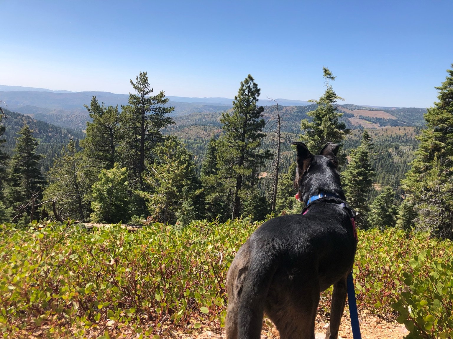 Black dog looking out over forest